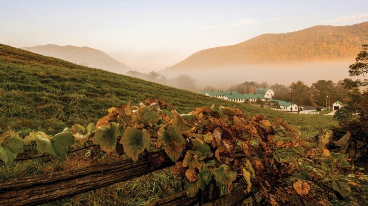 A vineyard is pictured on a foggy autumn morning