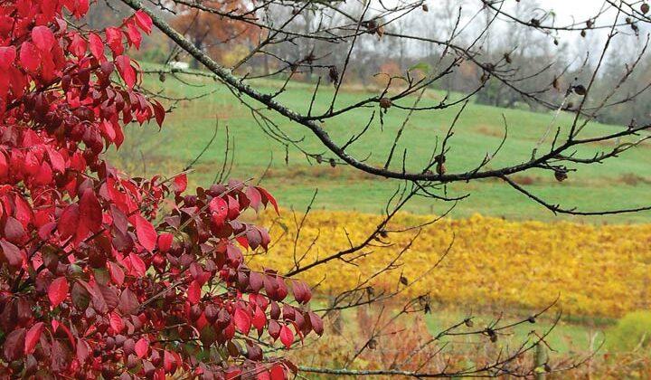 An autumn photo of a vineyard
